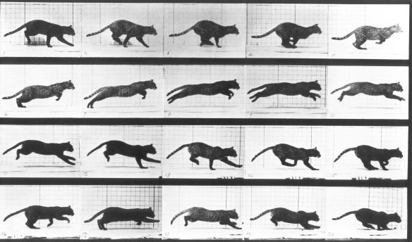 Muybridge Cat